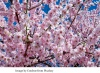Kirschblüte und Kultur 18.April 2020 Bonn und Petersberg