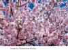 abgesagt! Kirschblüte und Kultur  Bonn und Petersberg